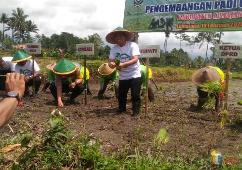 Perluas Hamparan Padi Organik, Bupati Lumajang Siap Bantu Pemasaran