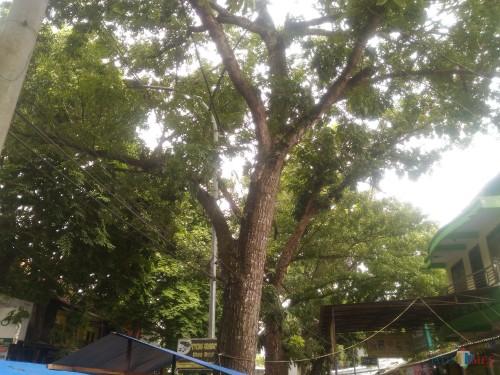 Pohon Peneduh di Jalan Brigjen Katamso Terlalu Rindang, Kapan Dipangkas ?