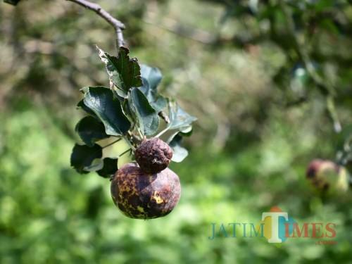 Buah apel yang membusuk di Desa Bulukerto, Kecamatan Bumiaji.