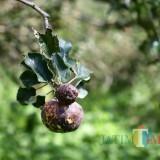 Ini Solusi Pemkot Batu Cegah Penularan Busuk Apel