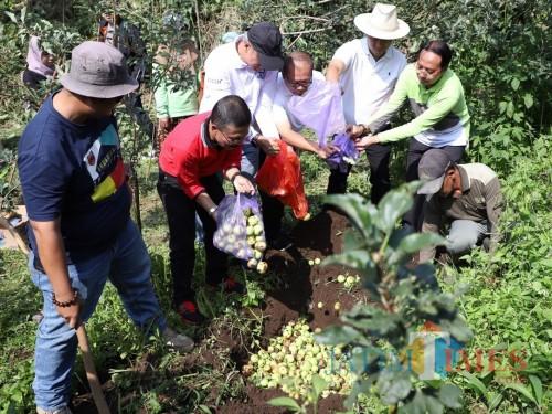 Wakil Wali Kota Batu Punjul santoso (kaos merah) saat menumpahkan apel terkena busuk buah di lahan salah satu warga di Desa Bulukerto, Kecamatan Bumiaji.