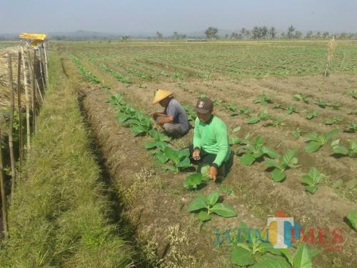 Militansi Petani Blitar di Tengah Pasang Surut Tembakau Selopuro