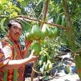 Ngetrip Asik ke Wisata Edukasi Kebun Buah Alpukat Khas Blitar di Desa Karangsono