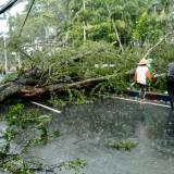 Pohon Tumbang di Jalan Panglima Sudirman Kota Batu Tutup Ruas Jalan