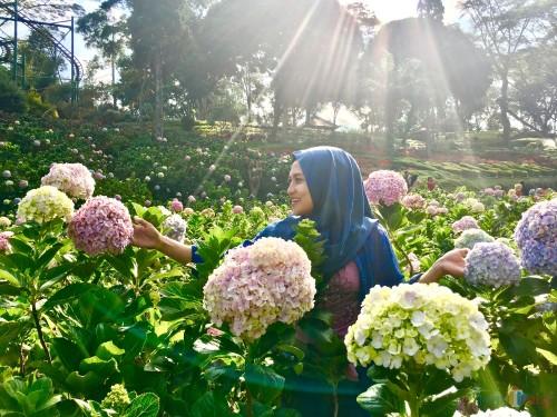 Salah satu wisatawan saat berswafoto di taman bunga hortensia di Taman Rekreasi Selecta. (Foto: Irsya Richa/MalangTIMES)