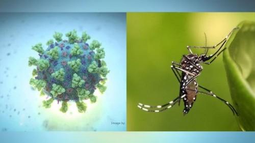 Ilistrasi virus Corona dan nyamuk Aedes Aegypti penyebab DBD. (Foto: istimewa)