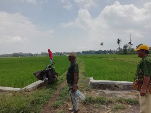 Petani Desa Jatikerto saat menatap persawahannya yang rusak oleh tikus dan membuat gagal panen (dd Nana)