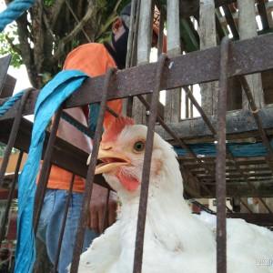 Dihempas Covid-19, Peternak di Tulungagung Obral Ayam