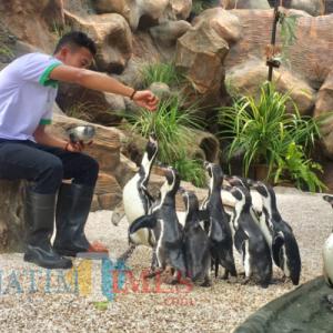 Di Tengah Pandemi Covid-19,Penguin HemboldtEco Green Park Berhasil Berkembangbiak