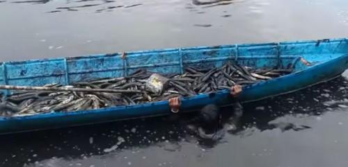 Ikan Gabus diracun di Kalimantan (Foto: Screenshoot YouTube)