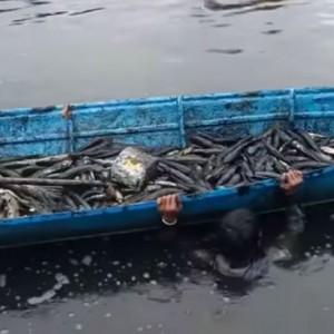 Di Kalimantan, Nelayan Tangkap 1 Ton Ikan Gabus dengan Cara Diracun, Warganet Protes!
