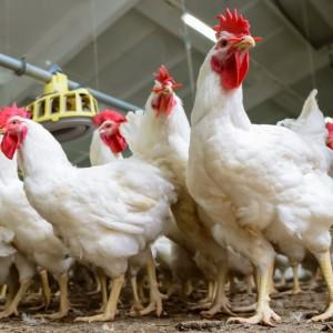Riset: Kapsul Bayam dan Kunyit Dapat Tingkatkan Kualitas Daging Ayam Broiler