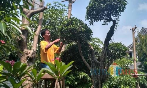 Melihat Bisnis Bonsai, Dari Pencarian Bibit Sampai Jadi