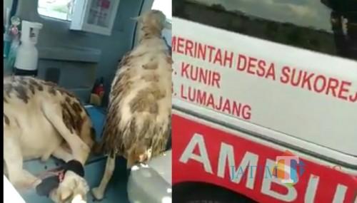Dua ekor kambing dalam ambulance desa SUkorejo Kecamatan Kunir (Foto : Moch. R. Abdul Fatah / Jatim TIMES)