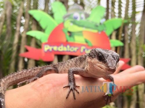 Salah satu koleksi kadal di Predator Fun Park. (Foto: Irsya Richa/MalangTIMES)