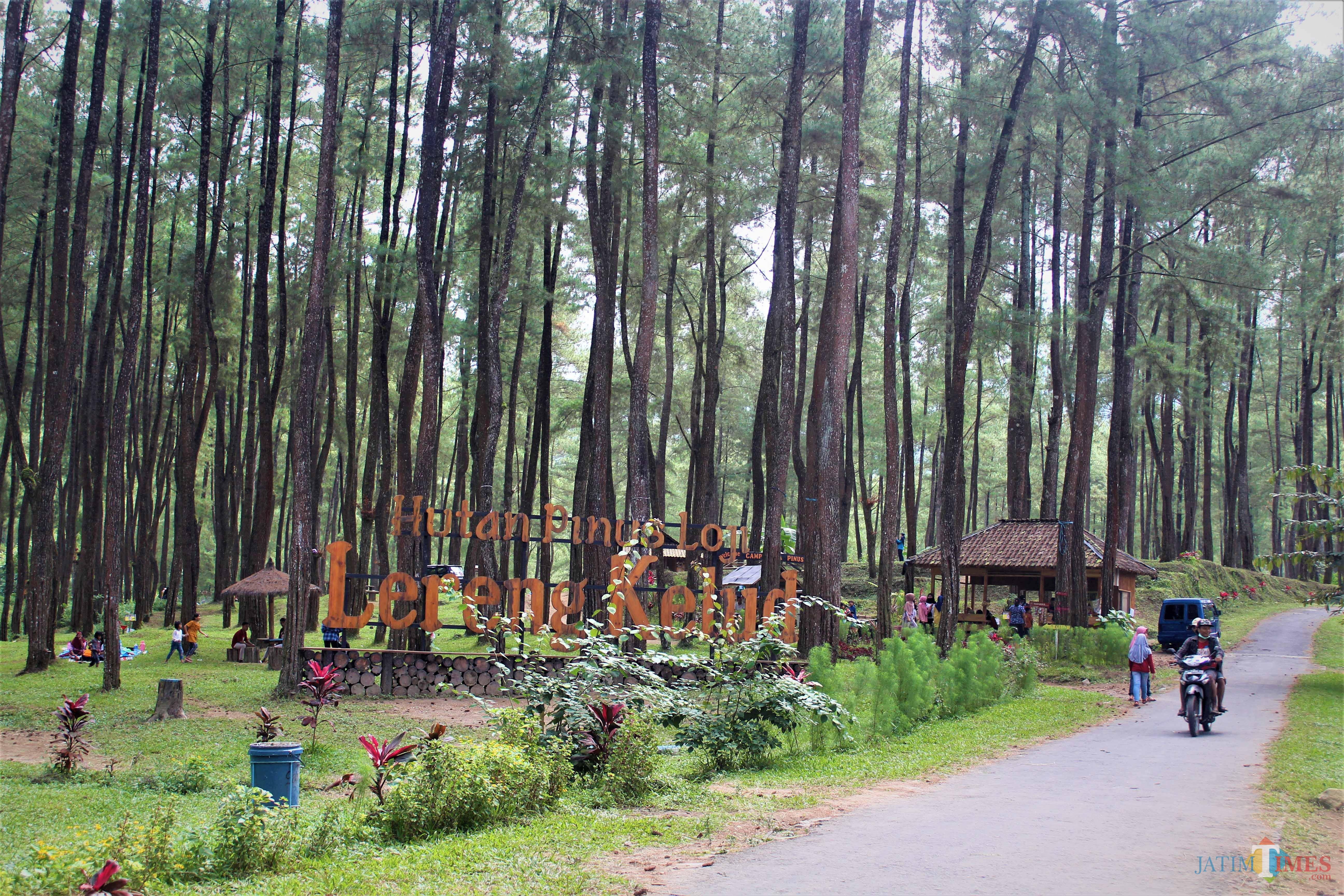 Hutan Pinus Loji, Destinasi Piknik Asyik di Lereng Kelud Blitar ...