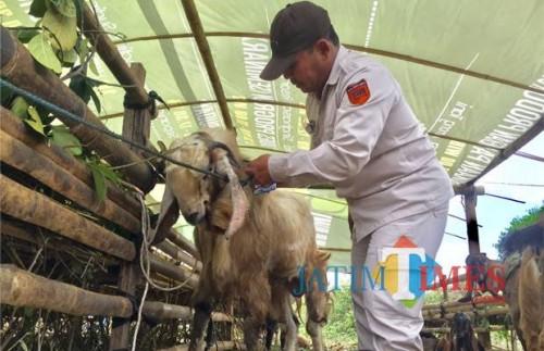 Salah satu petugas saat melakukan pemeriksaan kepada hewan kurban yang dijual di pinggir jalan Kota Batu. (Foto: Irsya Richa/MalangTIMES)
