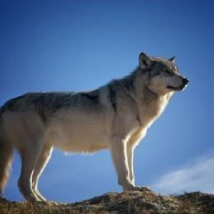 Bikin Geger pada Masanya, Ini Sapi dan Serigala yang Berbicara Bahasa Manusia