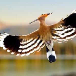 Disebutkan dalam Al-Qur'an, Ini Burung yang Haram Dibunuh Manusia