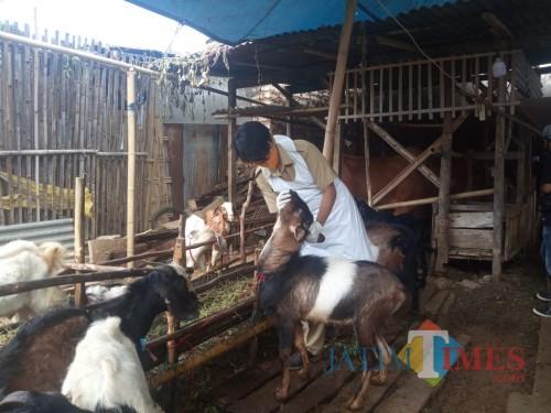 Tim Kesehatan Dinas Ketahanan Pangan dan Peternakan Sumenep saat Melakukan Pemeriksaan Kesehatan Hewan Kurban (Foto: Syaiful Ramadhani/Sumenep Jatim Time)