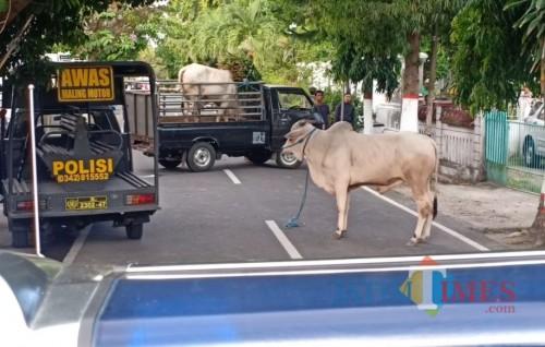 Sapi mengamuk di Kota Blitar sempat menimbulkan kepanikan warga.(Foto : Aunur Rofiq/BlitarTIMES)