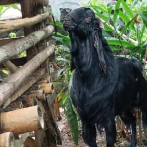 Geger Seekor Kambing Berbau Pandan di Banyuwangi, Ini Kata Sang Pemilik!