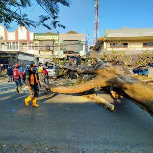 Pohon Besar Setinggi 20 Meter Tumbang, 3 Orang Luka-Luka