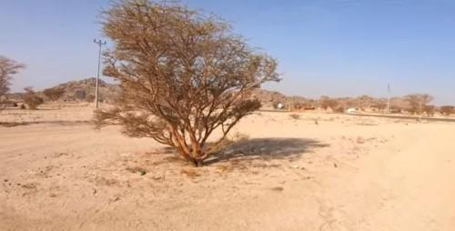 Pohon Zaqqum (Foto: YouTube Alman Mulyana)