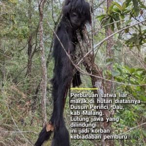 Lutung Jawa Mati di Hutan Dau, Profauna Minta Pelaku Ditangkap