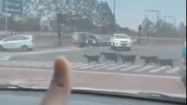 Sekelompok kambing berbaris di jalan BSD (Foto: Twitter @reptiktok)