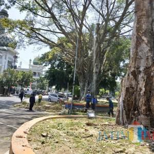 Khawatir Tumbang, DLH Kota Malang Pangkas Pohon Beringin Rapuh