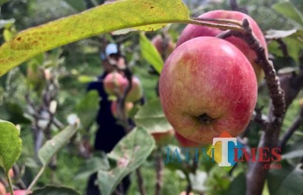 Lahan apel di Desa Tulungrejo, Kecamatan Junrejo. (Foto: Irsya Richa/MalangTIMES)