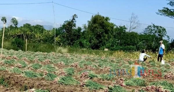 Petani bawang merah asal Desan Gunung Bekel, Kecamatan Tegal Siwalawan, Kabupaten Probolinggo sedang memanen bawang merah. (Foto: Bilhaq Nazal/Probolinggotimes)