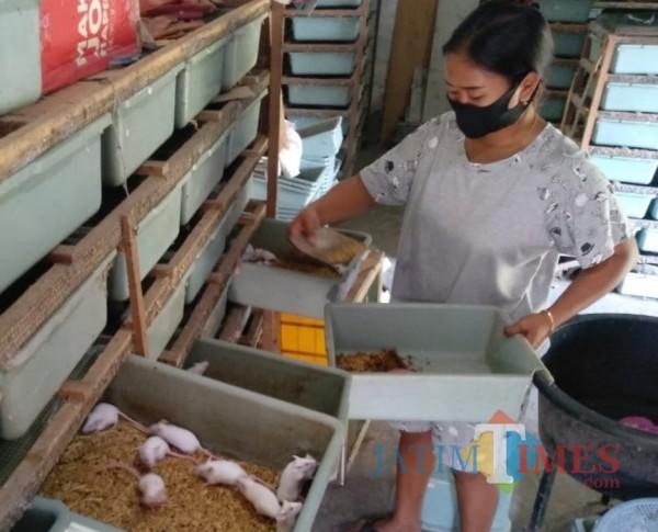 Wahyuni saat merawat tikus mencit di rumahnya. (Foto : Adi Rosul / JombangTIMES)