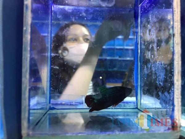 Pandemi Covid-19, Omzet Penjual Ikan Cupang Naik 50 Persen
