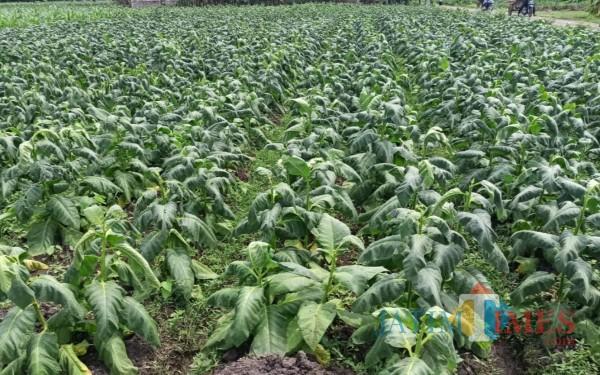Dipanen Sebelum Waktunya Karena Hujan, Petani Tembakau Tulungagung Merugi