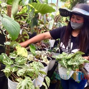 Keunikan Daun Bunga Begonia Bikin Penghobi Tanaman Gandrung
