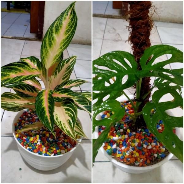 Tanaman hias aglonema (kiri) dan janda bolong (kanan) yang akan ikut memeriahkan pameran bunga virtual terbesar di Malang Raya. (Foto: Istimewa).