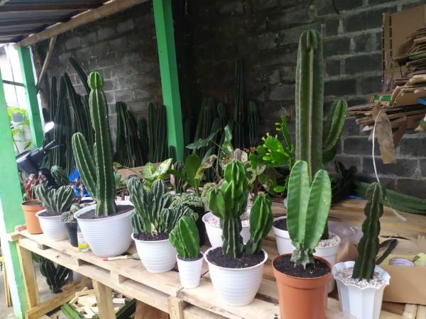Selain Janda Bolong, Kaktus Koboi juga Siap Ramaikan Pameran Virtual Bunga Terbesar di Malang