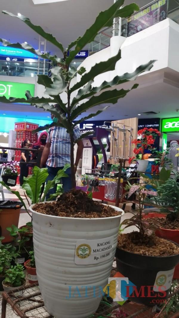 Macademia, salah satu tanaman berkhasiat untuk kesehatan ini bisa didapatkan di pameran virtual tanaman hias pertama dan terbesar di Malang Raya (Pipit Anggraeni/ MalangTIMES)