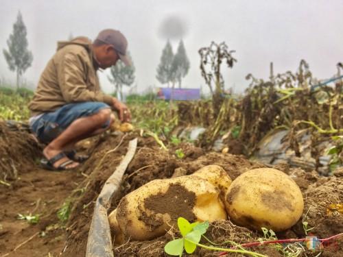 Pertanian kentang di Desa Sumber Brantas, Kecamatan Bumiaji. (Foto: Irsya Richa/MalangTIMES)