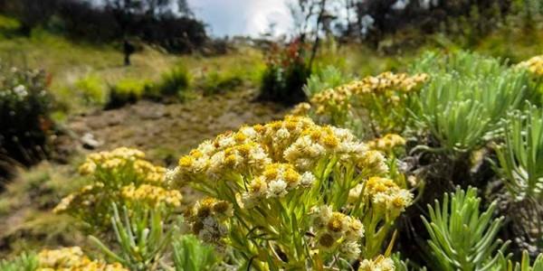 Tanaman bunga edelweis di pegunungan. (Foto: Kompas)