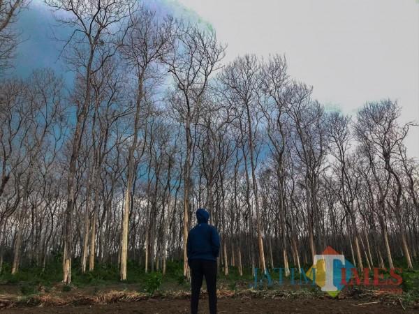 Instagramable, Hutan Jati Tulupari Tiris Suguhkan Spot Foto Musim Gugur ala Korea