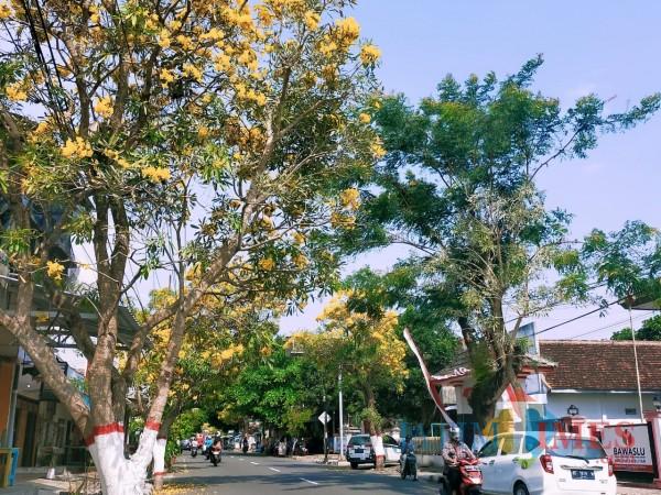 Bunga pohon Tabebuya bermekaran di Kota Blitar. (Foto: Dokumen JatimTIMES)