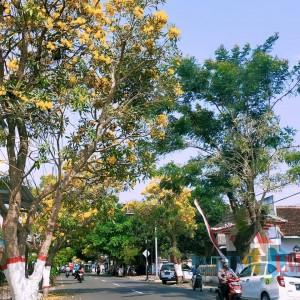 Pohon Tabebuya Bermekaran, Nuansa Negeri Sakura Hadir di Kota Blitar