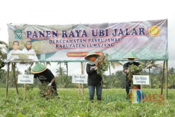 Wabup Lumajang saat panen ubi madu Pasrujambe (Foto : Kominfo / Jatim TIMES)