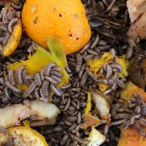 Kenalan dengan Maggot Black Soldier Fly, Si Kecil Pendaur Ulang Alami Sampah Organik