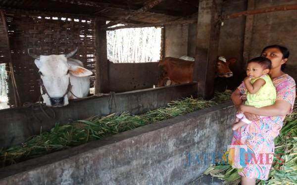 Sri Wahyuni saat menunjukkan lokasi kandang sapinya (Foto: Adi Rosul/ JombangTIMES)