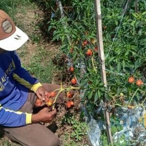 Harga Tomat Terjun Bebas, Petani Biarkan Hasil Panen Membusuk