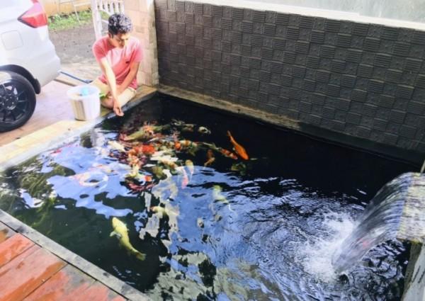 Pelihara Ikan Koi, Pemula Wajib Perhatikan Hal Ini